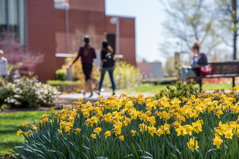 Daffodils on Adelphi's Garden City Campus in the spring.